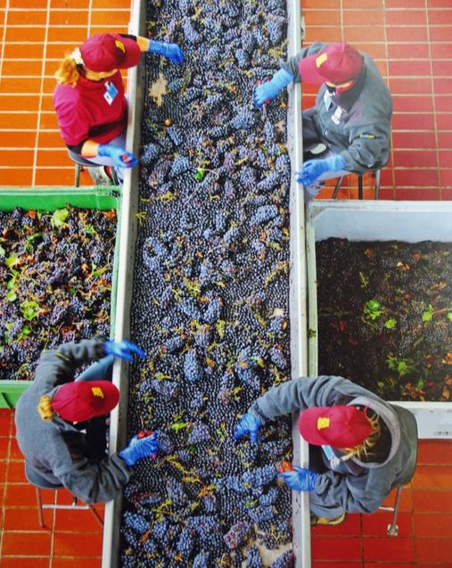 Hand Sorting Grapes at Banfi Winery