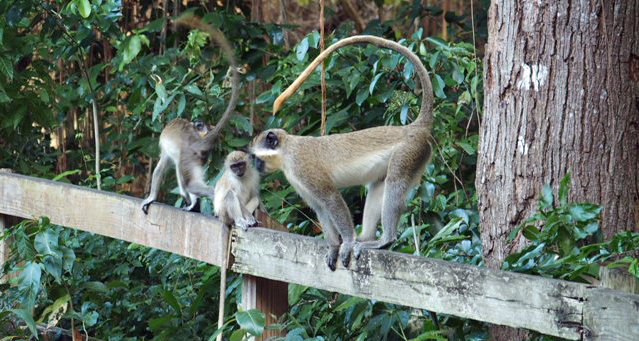 Vervet Monkeys on the Fours Seasons Nevis Golf Course