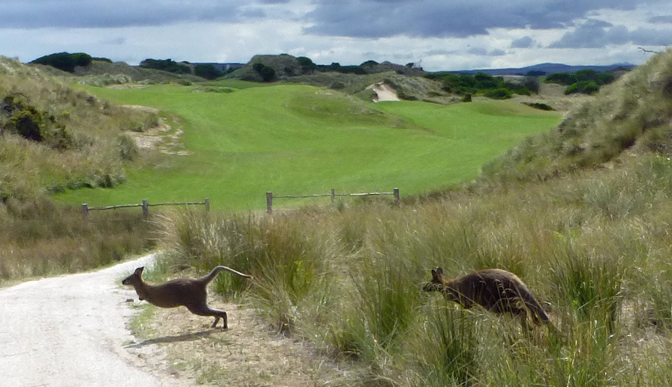Kangaroos at Barnbougle 6th hole Australia