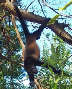 Reserva Conchal Monkey